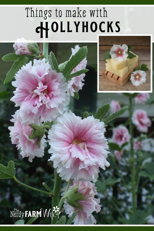 pink hollyhock flowers which have healthful benefits and uses
