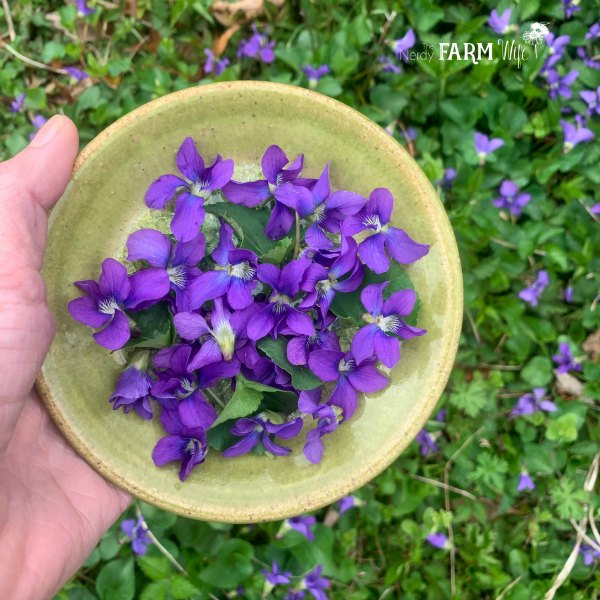 green saucer with fresh purple violet flowers and heart shaped green violet leaves held over a bed of fresh spring violet flowers