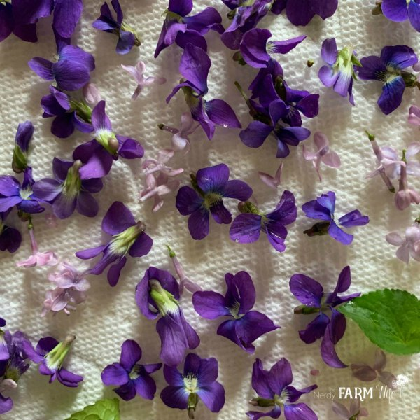 lilac flowers and violets drying on a white paper towel