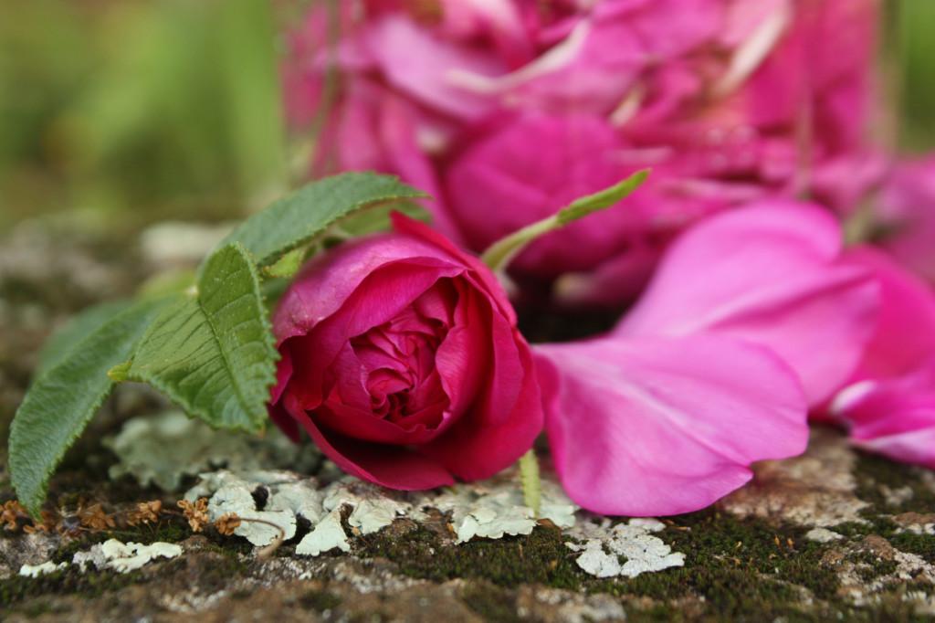 Lovely Rosebud