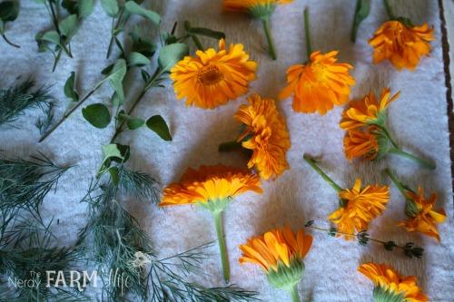 calendula flowers ready to air dry