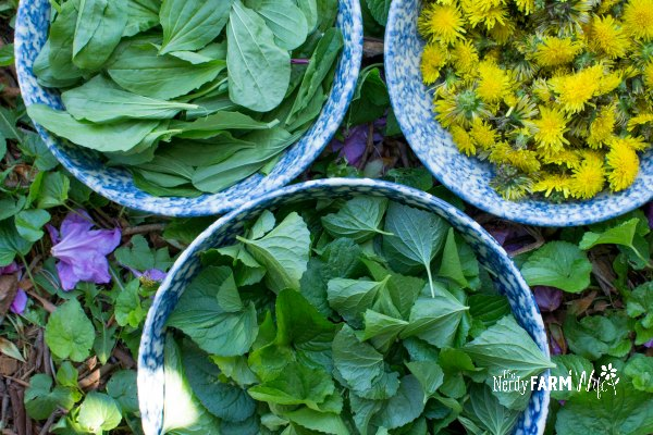 bowls of plantain leaves, violet leaves, and dandelion flowers