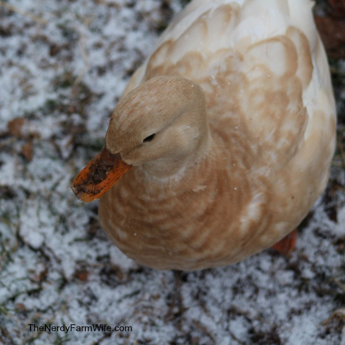 call duck in the snow