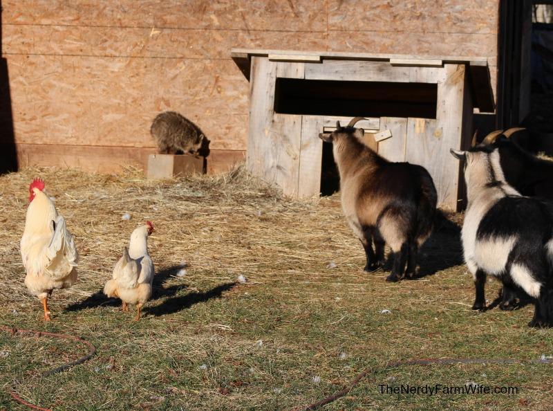 raccoon cornered by goats