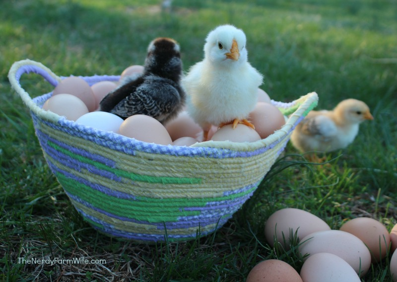 basket of chicks and eggs