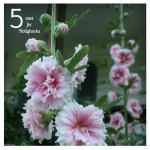 5 Uses for Hollyhocks