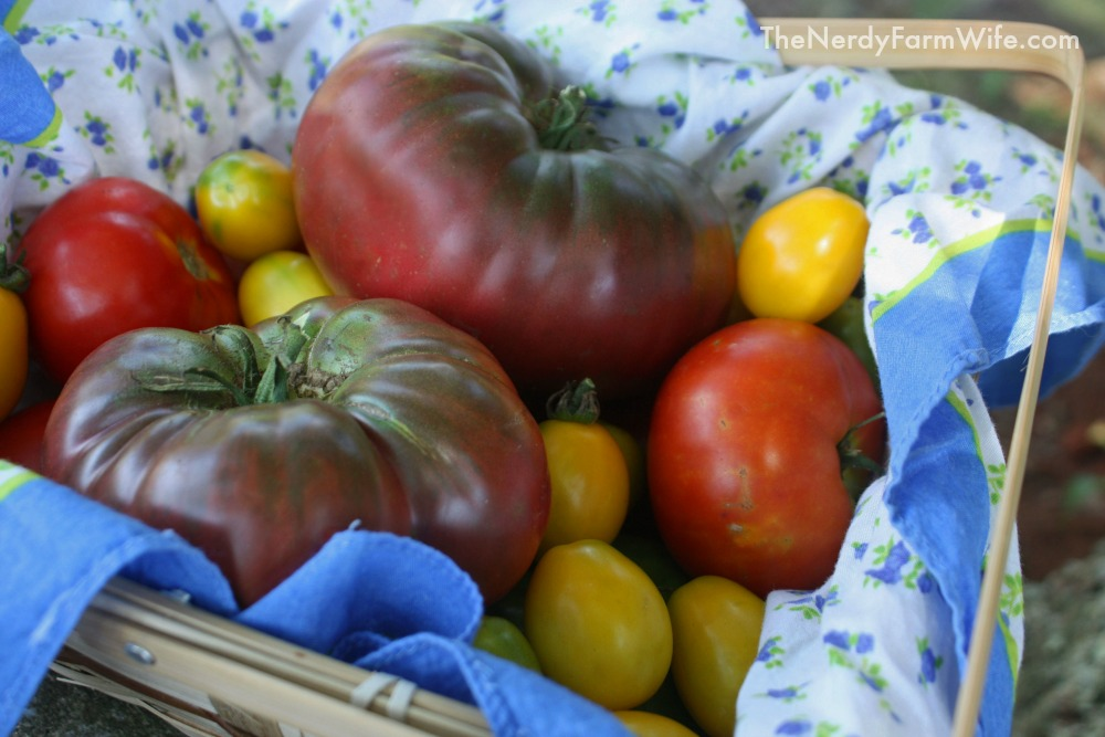 Black Krim - Hssiao His Hung Shih Yellow - Mountain Princess Tomatoes in a basket