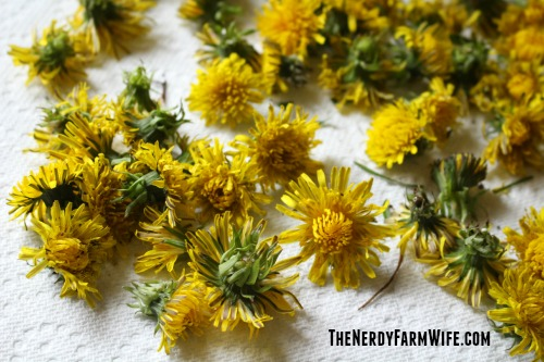 Drying Dandelions on a paper towel