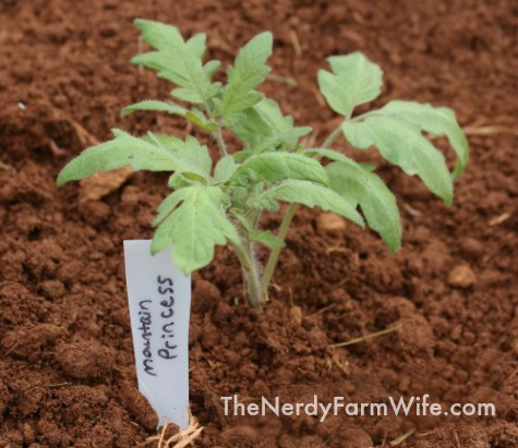 Mountain Princess Heirloom Tomato plant and marker