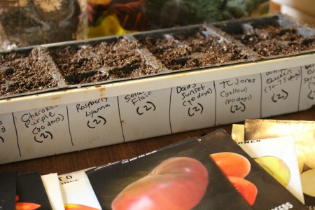 Starting Heirloom Tomato Seeds
