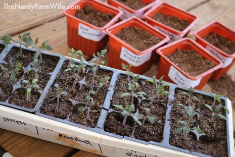 Transplant Tomato Seedlings to Larger Pots Once Their First Set of True Leaves Appear