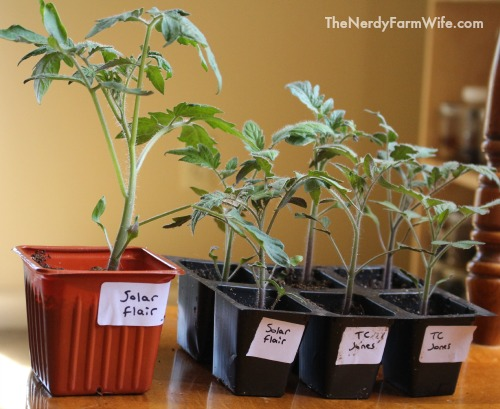 difference between tomato plants that are the same age but transplanted to different size containers