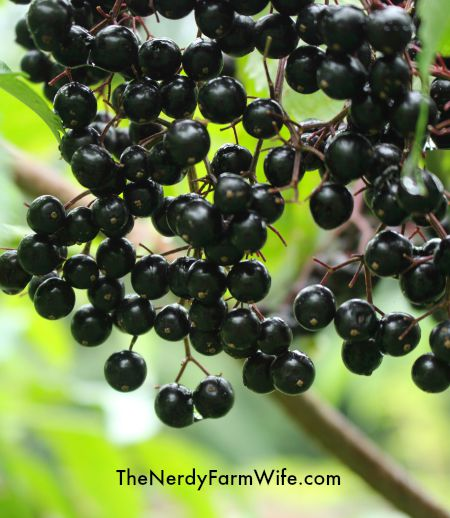 Elderberries on the vine
