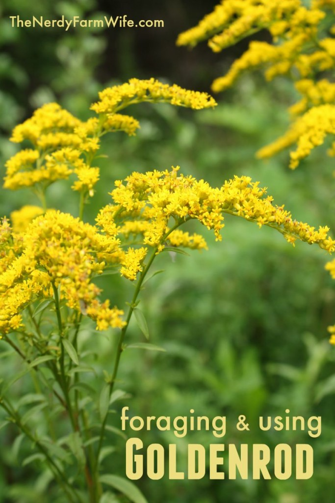 Foraging & Using Goldenrod to Make Tincture, Tea, Oil & Salve
