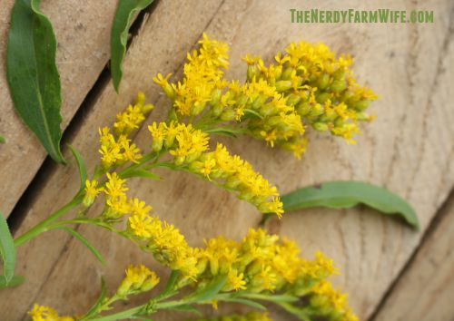 Dry Goldenrod Flowers for Teas or Infusions