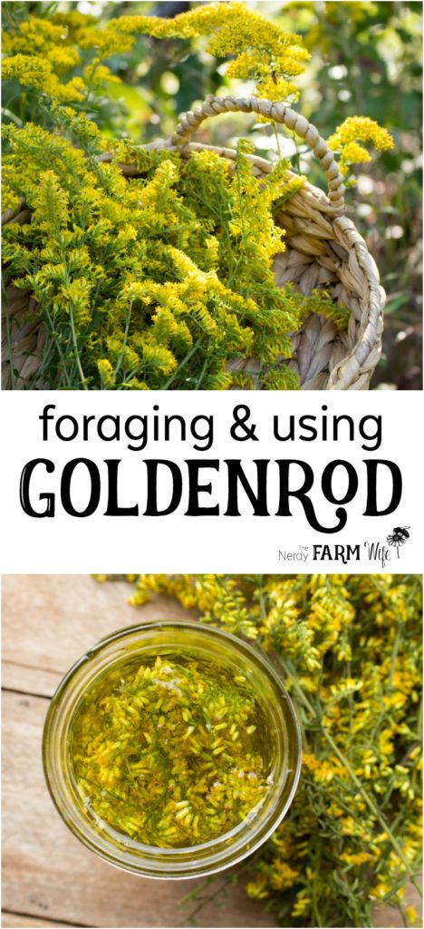 Foraging & Using Goldenrod