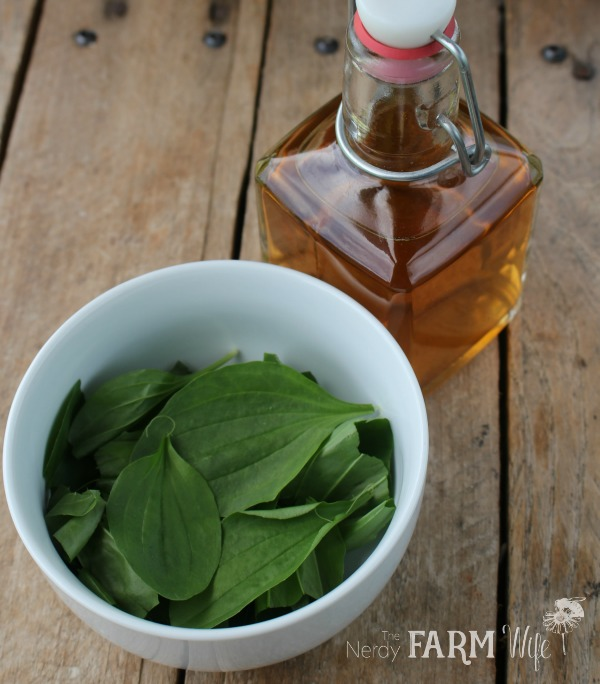 plantain infused vinegar