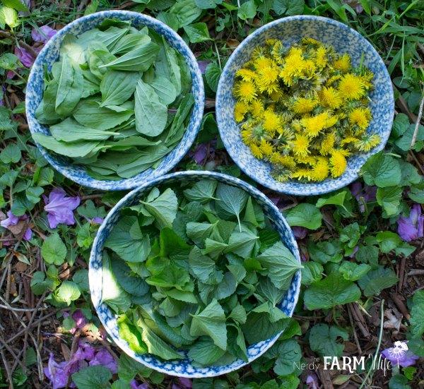 Harvesting Plantain, Violet Leaf & Dandelion Flowers