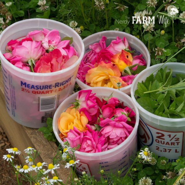 Harvesting Roses & Lemon Balm