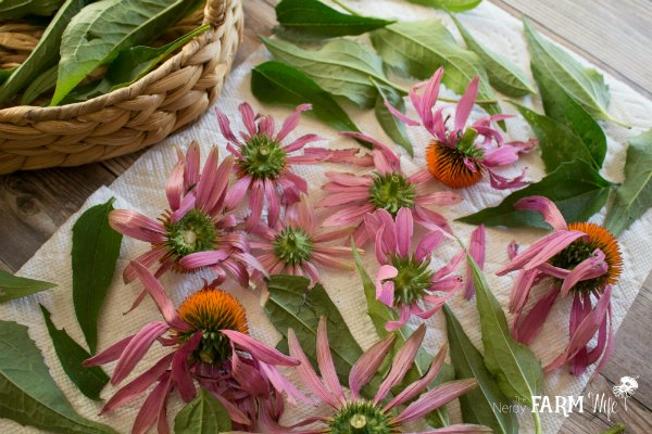 Drying Echinacea Flowers and Leaves