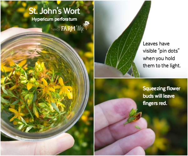 Identifying-St-Johns-Wort