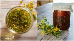 Infusing-St-Johns-Wort-Oil