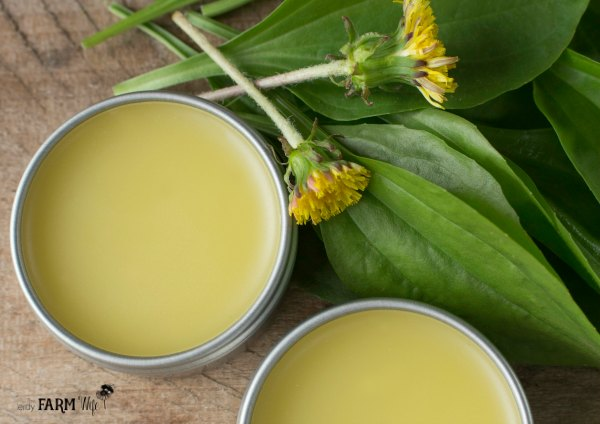 Dandelion Plantain Lip Treatment