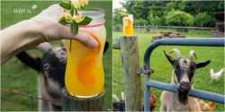 goat curious about glass of honeysuckle orangeade