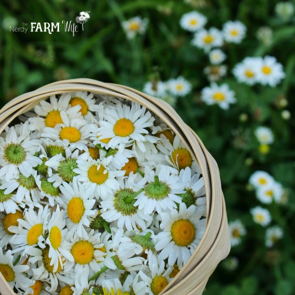 small basket of fresh daisies