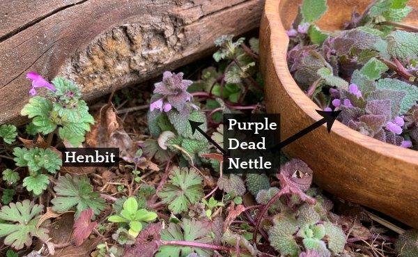 henbit and purple dead nettle, growing side by side