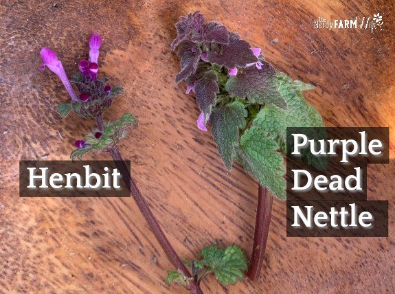 henbit beside purple dead nettle in a wooden bowl