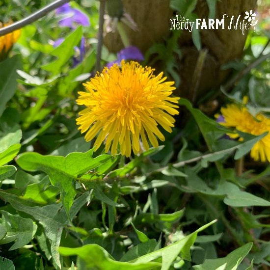 yellow dandelion flower surrounded by green dandelion leaves beside a fence post and metal fence