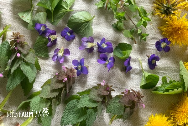 white cotton dish towel covered with a layer of fresh purple dead nettle, violet flowers, violet leaves, chickweed, dandelion flowers