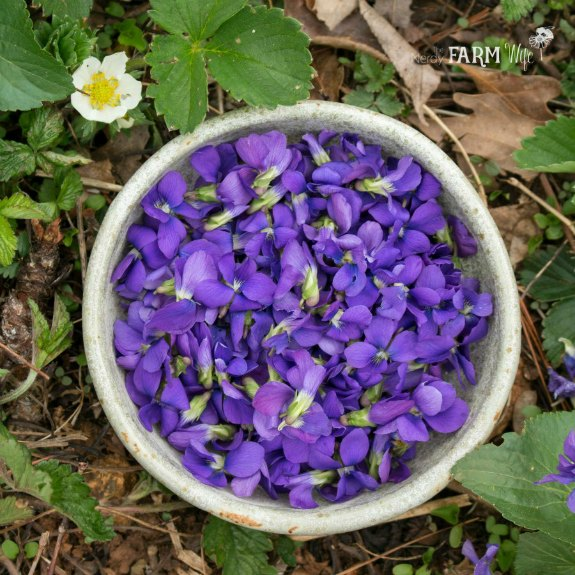 light green pottery bowl of purple violets nestled in a bed of wild violets and strawberry plants