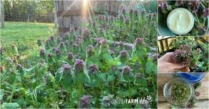 garden bed of purple dead nettle, purple dead nettle lotion and tincture
