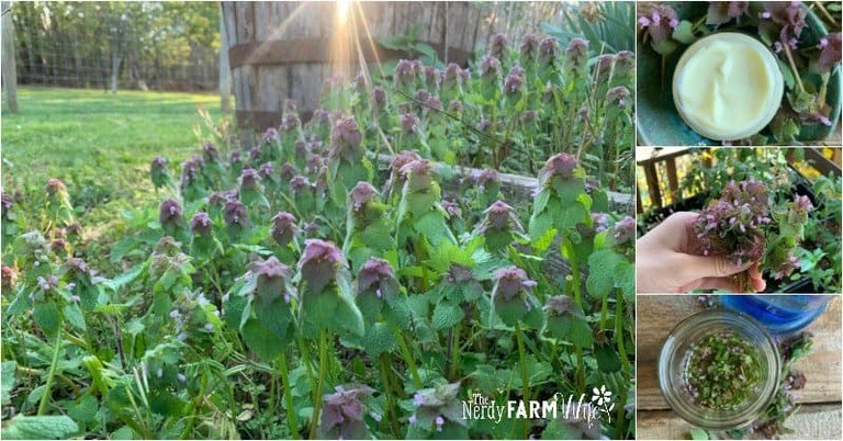 9+ Things to Make with Purple Dead Nettle