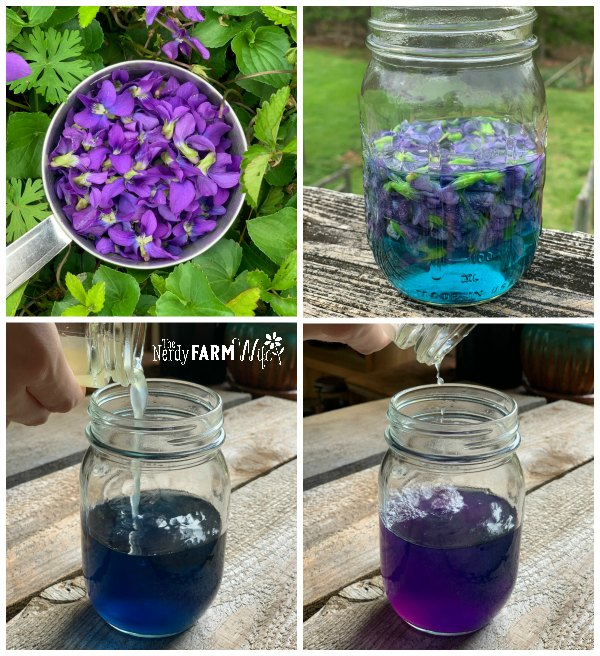four square collage showing 1 cup of fresh violet flowers, a jar with a violet flower infusion, a jar of blue violet infusion with lemon juice being poured in, a jar of now-purple violet infusion because of lemon color change