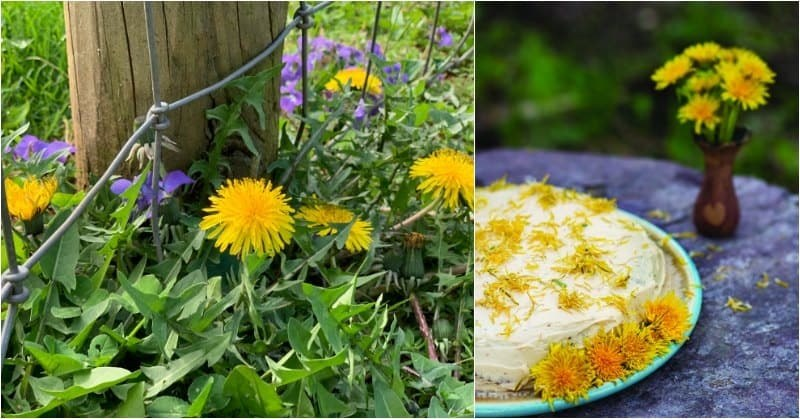 dandelion flowers and wild violets beside a fence post, dandelion maple cake