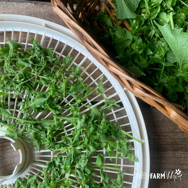 dehydrator try on a wooden background with wilted chickweed on the tray beside a basket of fresh chickweed and other spring green herbs