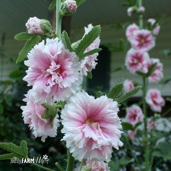 fresh hollyhock flowers