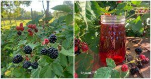fresh blackberries and jar of blackberry vinegar