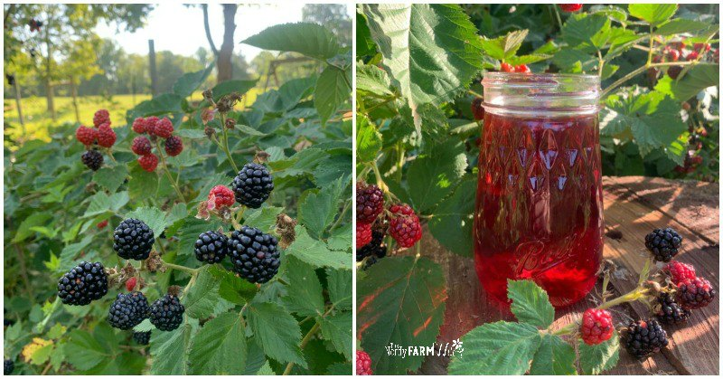 fresh blackberries and jar of blackberry vinegar