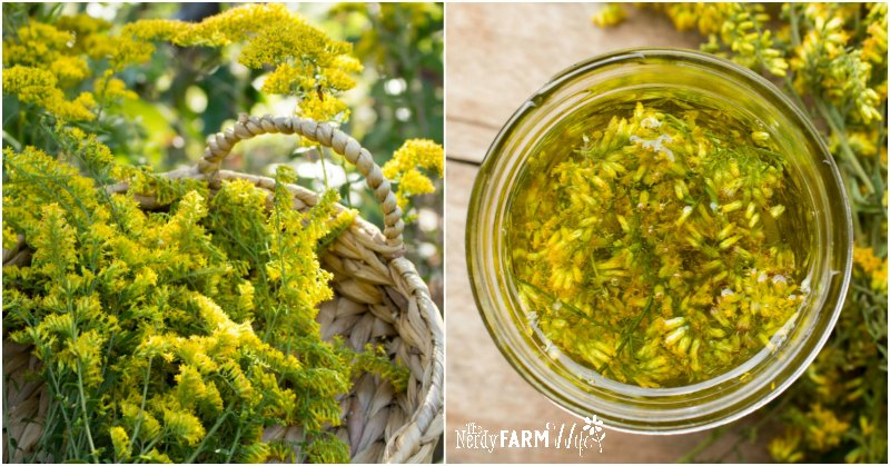 fresh goldenrod and jar of goldenrod infusion