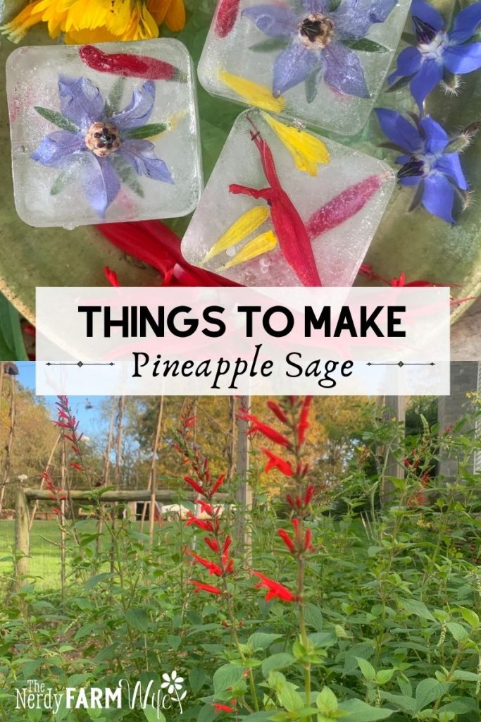 """pineapple sage plant and ice cubes, text says """"Things to Make Pineapple Sage"""""""