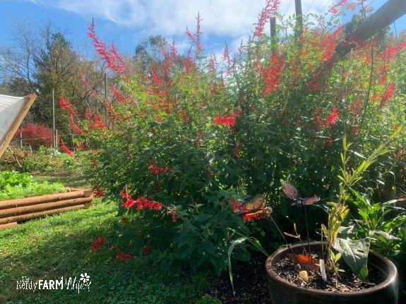 pineapple-sage-bush-in-the-garden