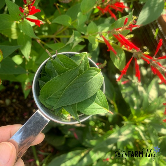 pineapple sage leaves in a measuring cup