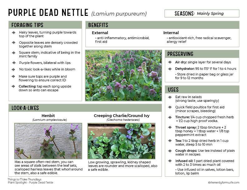 purple dead nettle spotligt