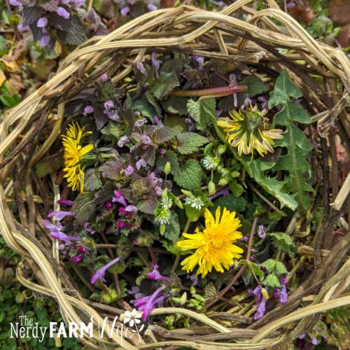 woven basket filled with fresh dandelion, chickweed, henbit, purple dead nettle weeds