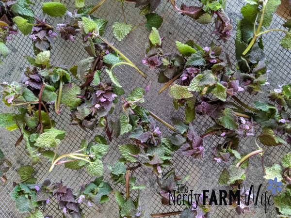screen covered with fresh purple dead nettle tops
