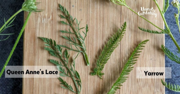 Queen Anne's Lace and Yarrow Leaves differences